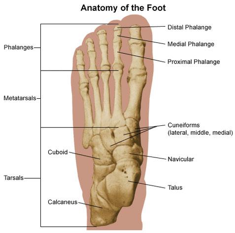 bones of foot. The foot is susceptible to